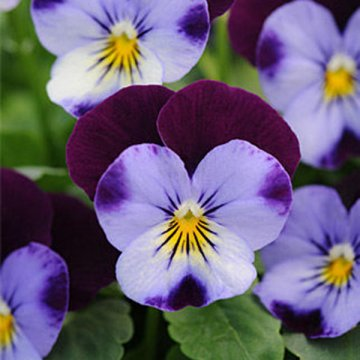 100pcs/pack blue purple viola seeds garden groundcover annual flower seeds