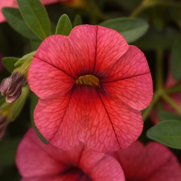 Calibrachoa Kabloom® Coral