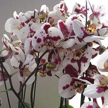 200pcs/bag phalaenopsis orchid seeds rare bonsai plants flowers seeds for home garden plants