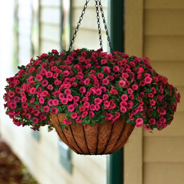Kabloom ® Cherry Calibrachoa