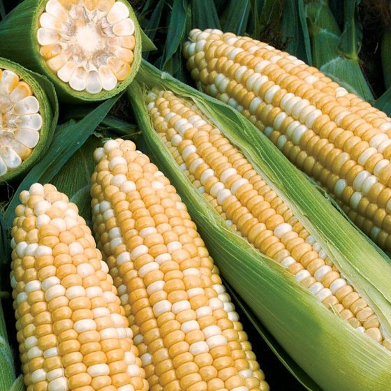 Obsession Corn Seeds