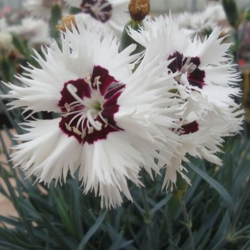 Star Single™ Stargazer Dianthus
