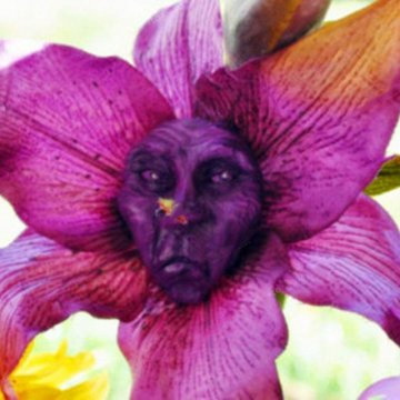 100pcs/pack monkey face orchid seeds old people face flower seeds planting