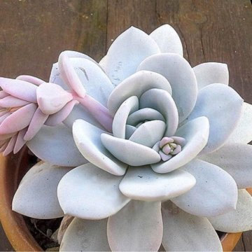 100pcs/pack echeveria succulent seeds crassulaceae bonsai ornament potted flower seed