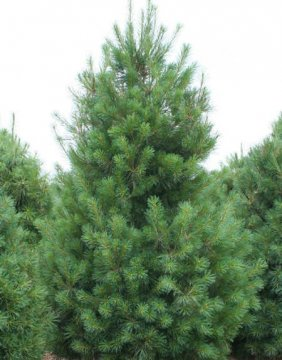 Eastern White Pine Tree