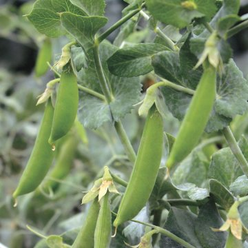 Little SnapPea Crunch Pea Seeds (P) Pkt of 160 seeds
