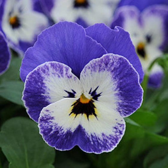 100pcs/pack viola seeds red blue garden perennial plants decoration flower seeds