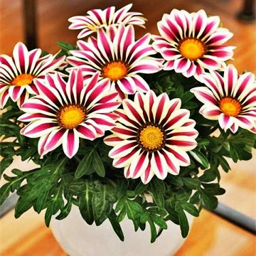 200pcs/bag gazania rigens seeds semillas gazania splendens chrysanthemum seeds