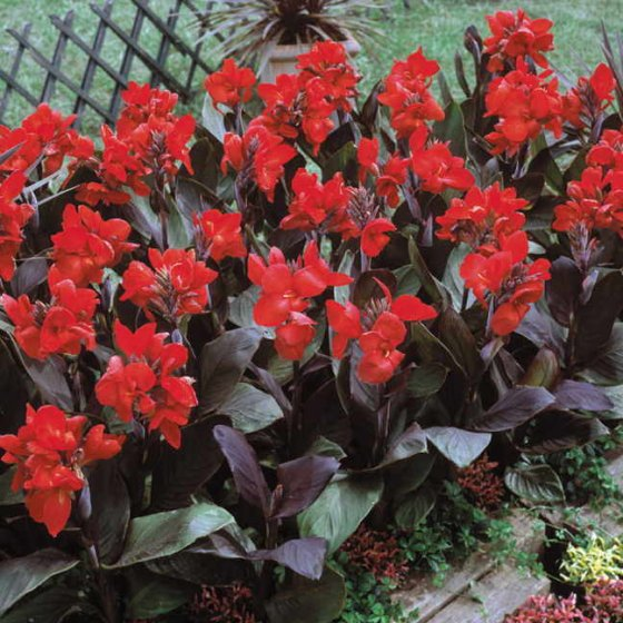 Tropical Bronze Scarlet Canna Flower Seeds [WS-22378]