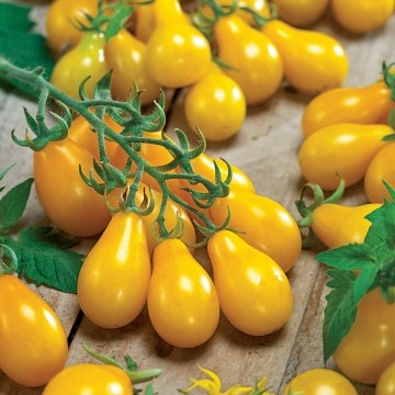 Tomato Yellow Pear (Organic)