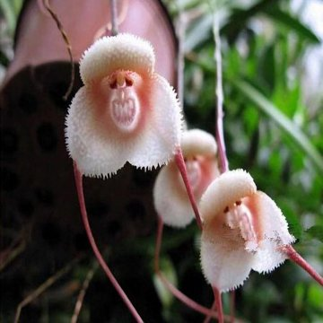 200pcs monkey face orchids seeds multiple varieties plants garden bonsai flower