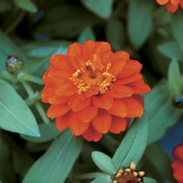Profusion Double Fire Zinnia Seeds