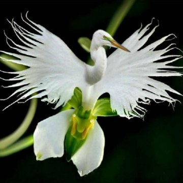 200pcs japanese egret flowers seeds white egret orchid seeds radiata rare white orchid