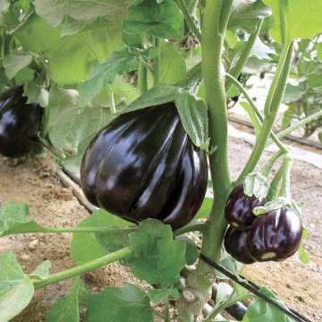 Black Beauty Organic Eggplant Seeds