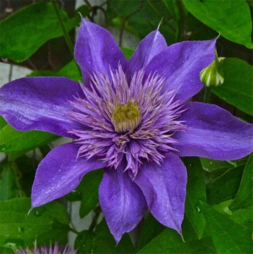 100pcs/pack clematis seeds potted clematis flower garden ornamental plants