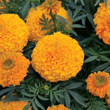 Marigold Big Duck Orange F1