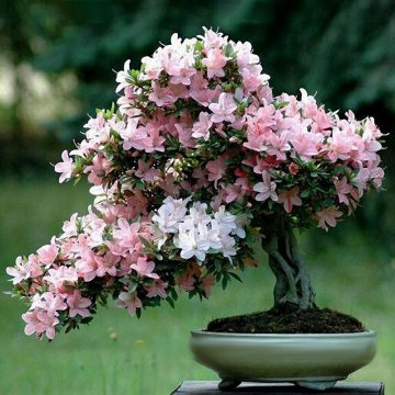 10pcs sakura flower seeds pink cherry blossom tree bonsai plants garden rare perennial planting
