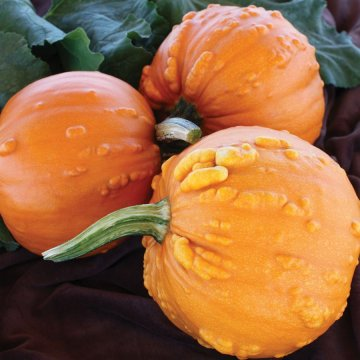 Toad Hybrid Pumpkin Seeds