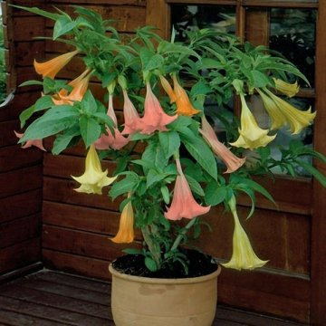 50pcs/bag brugmansia seeds angel trumpet yellow brugmansia seeds