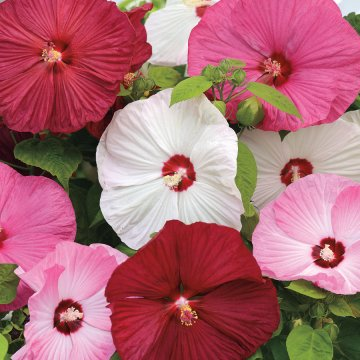 Luna™ Mix Rose Mallow Seeds