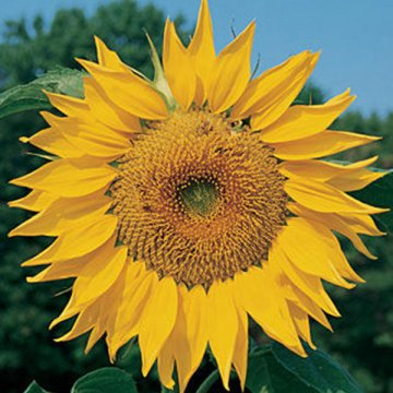 20pca/pack red yellow sunflower seeds courtyard beautifying ornamental plants seeds