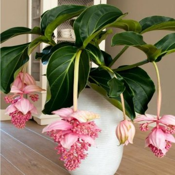 100pcs/pack medinilla magnifica flower seeds beautiful bonsai plants for home garden decor