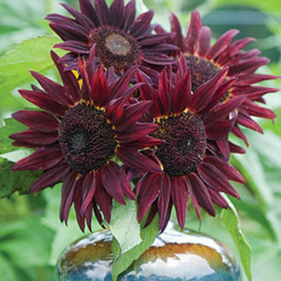 20pcs/pack wine red sunflower seeds garden decoration plants potted flower seeds