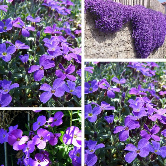 125pcs/pack garden aubrieta deltoidea purple flower seeds perennial herb plants