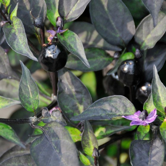 Black Hawk Ornamental Pepper Seeds