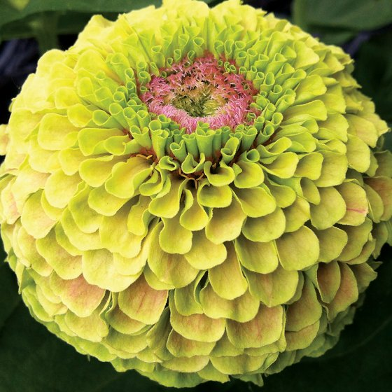 Zinnia Queen Lime with Blotch