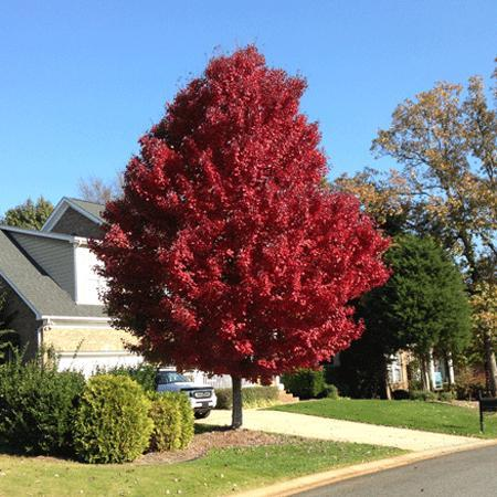 American Red Maple Tree Tr 8404 21 96 Weseeds Com