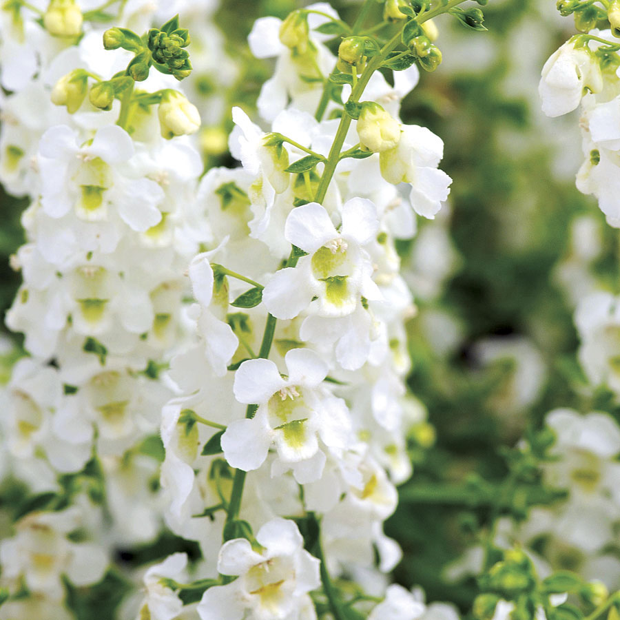 Serena® White Angelonia Seeds