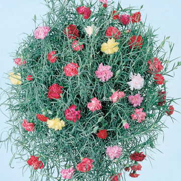 Clove Drops Carnation Seeds
