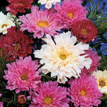 Double Click Mix Cosmos Flower Seeds