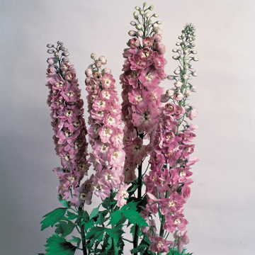 Magic Fountain Cherry Blossom Delphinium Seeds