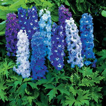 Magic Fountain Mix Delphinium Seeds