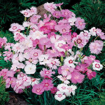 Sweetness Dianthus Seeds [WS-22436]