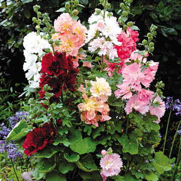 Spring Celebrities Hollyhock Mix Seeds
