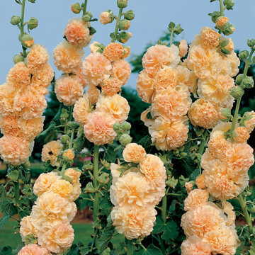 Peaches 'n' Dreams Hollyhock Seeds