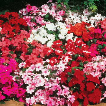 Accent Hybrid Mix Impatiens Flower Seeds [WS-22150]