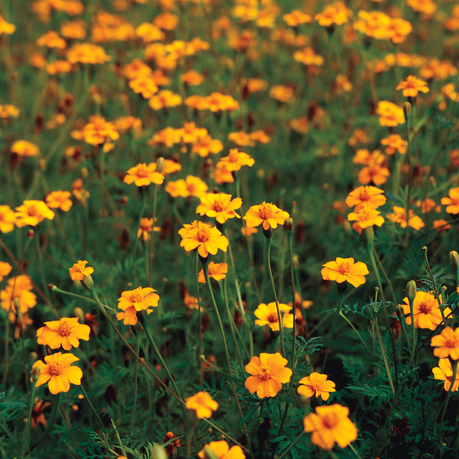 Golden Guardian Marigold Seeds [WS-22092]