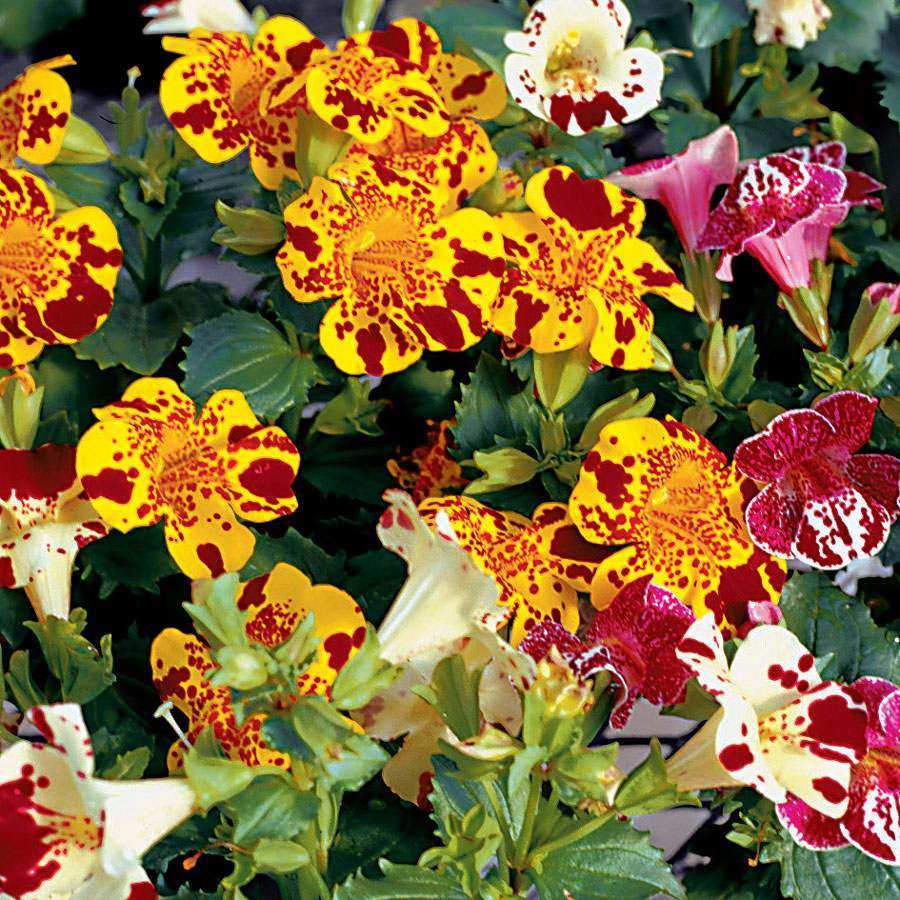 Magic Blotch Mix Monkey Flower Seeds
