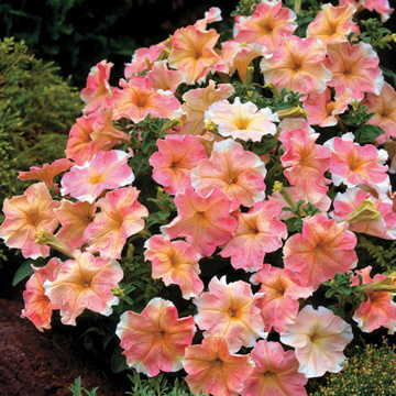 Dolcissima Flambe Petunia Seeds [WS-22110]
