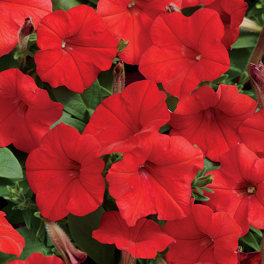 Easy Wave 174 Red Hybrid Petunia Seeds Ws 22230 3 00