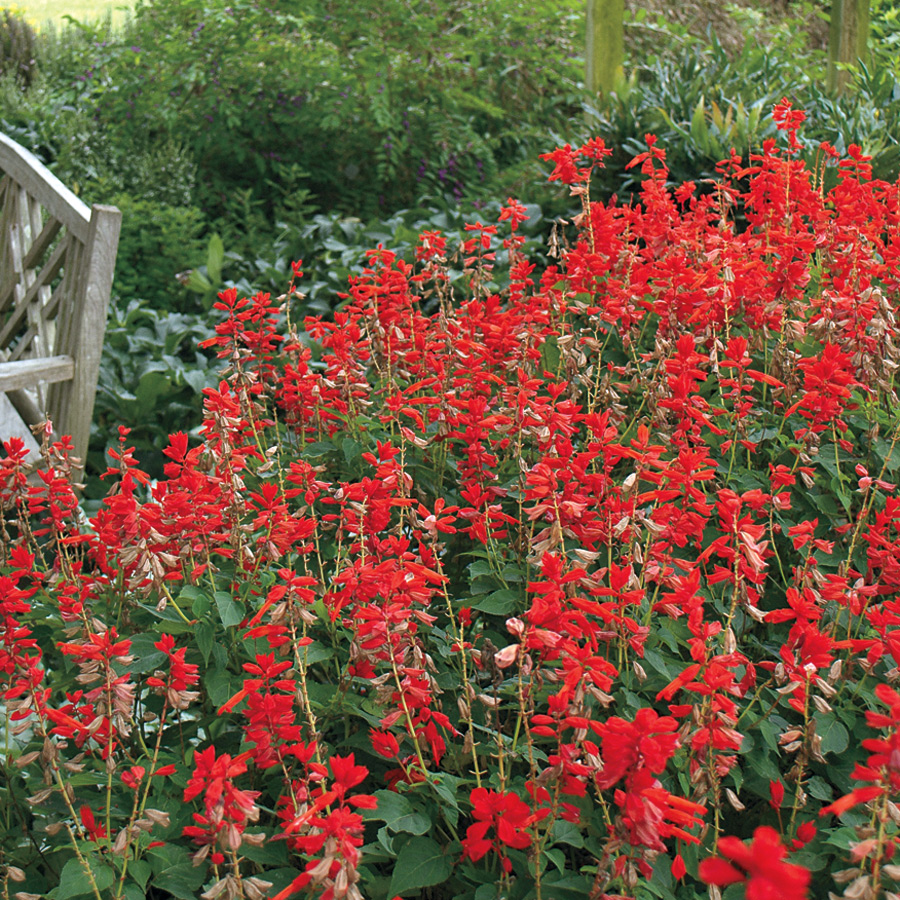 Park's Whopper Lighthouse Salvia Seeds