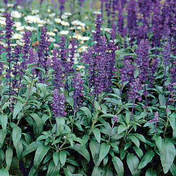 Evolution Salvia Seeds