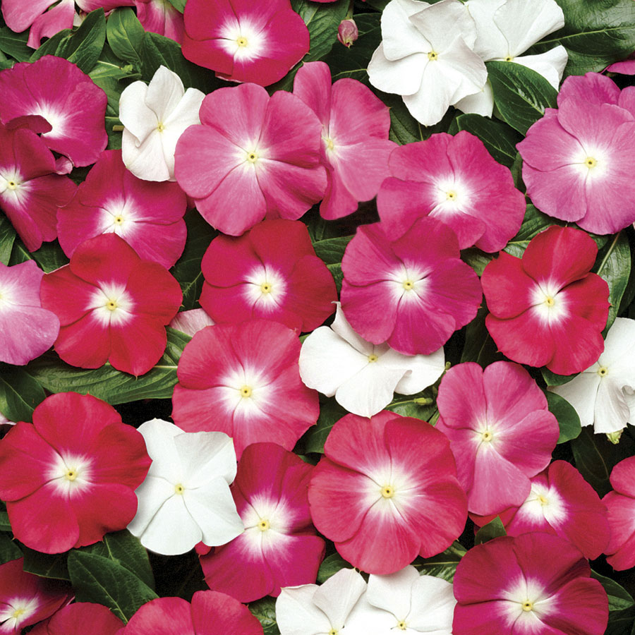 Pacifica Halo Mix Vinca Flower Seeds