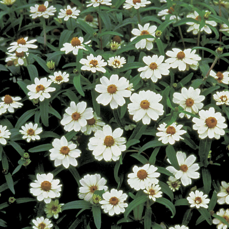 Crystal White Zinnia Seeds