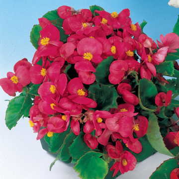 Pizzazz Deep Rose Begonia Seeds [WS-22284]