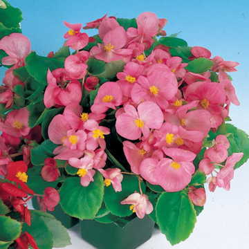 Pizzazz Pink Begonia Seeds